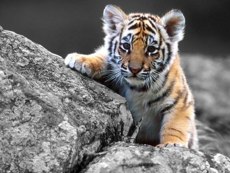 tigre animal en peligro de extincion