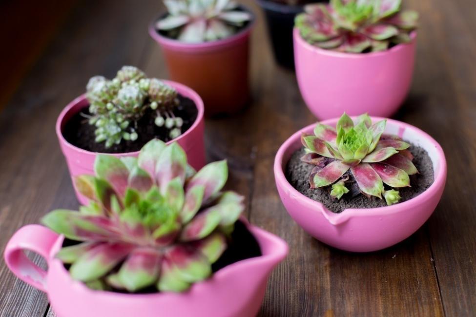 plantas de poco riego - cactus y suculenta