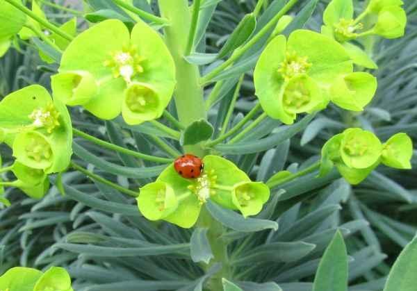 Six spot ladybird on euphorbia a