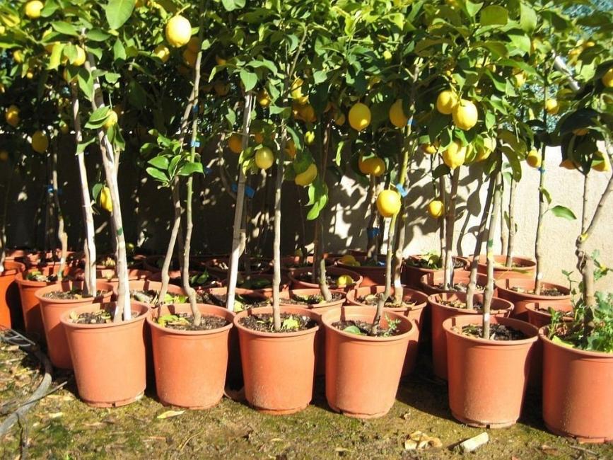 Claves para cultivar rboles frutales en macetas for Arboles frutales pequenos para macetas