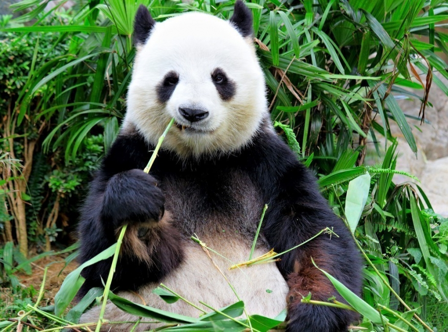 panda comiendo -bambú