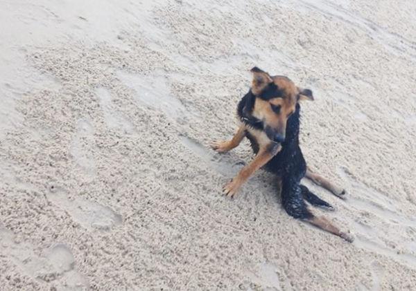 paralyzed-dog-puppy-rescue-thailand-canada-leo-15