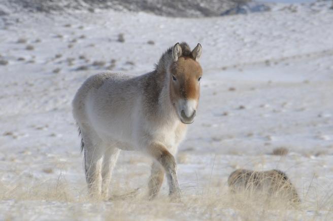 Los caballos Botai eran más adecuados para la actividad pastoral localizada que para los viajes de larga distancia y la guerra