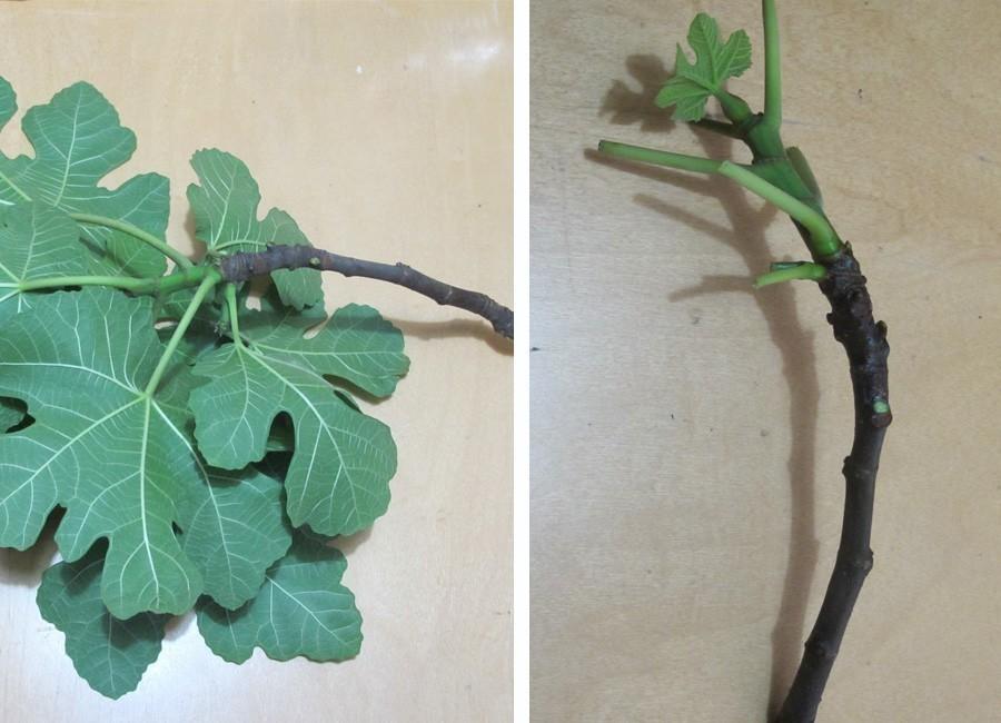 Cómo tener un árbol de higos- paso a paso