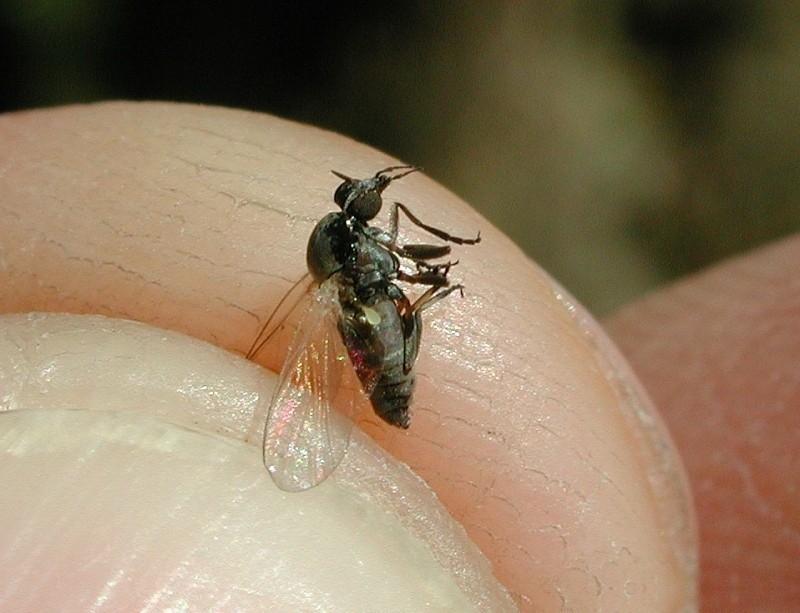 """La """"mosca negra"""" es resistente a los repelentes"""