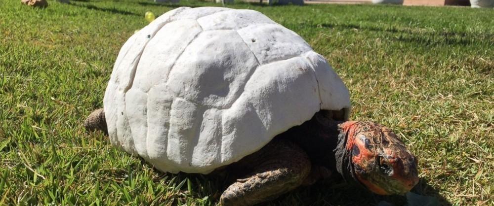 Freddy, la primera tortuga con un caparazón impreso en 3D