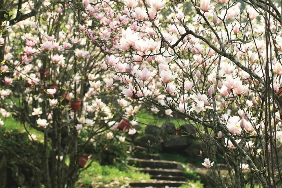 Flores y personalidad- magnolia
