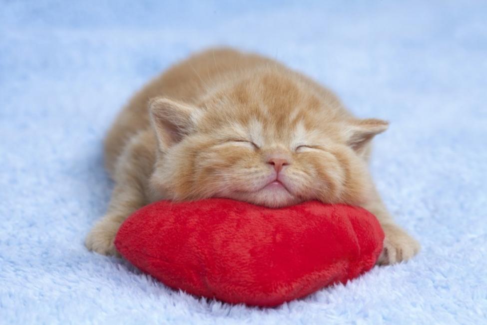 beneficios de tener un gato para la salud - corazón