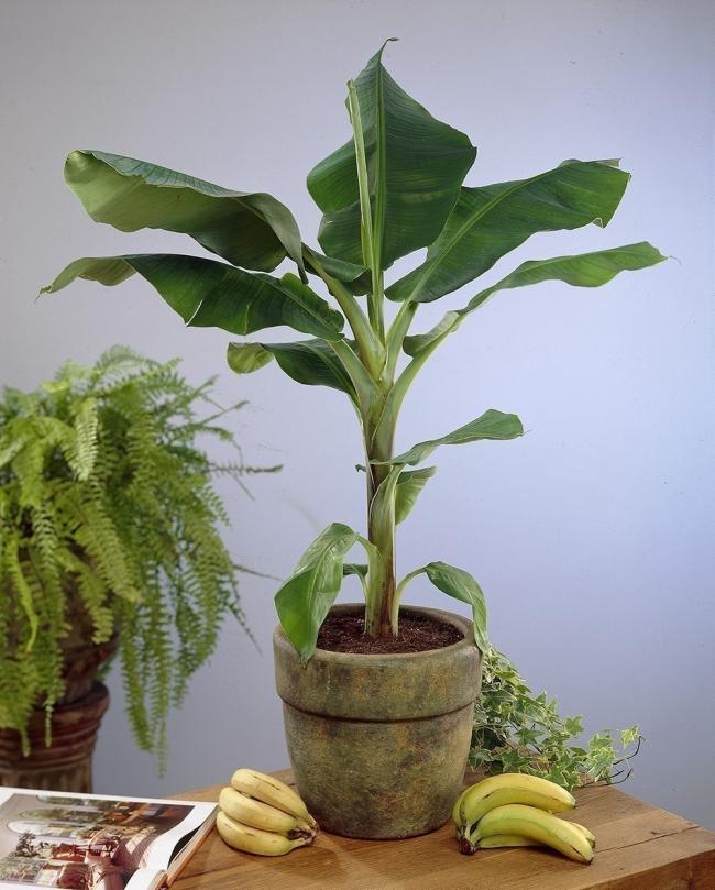 cultivar bananas en tu hogar