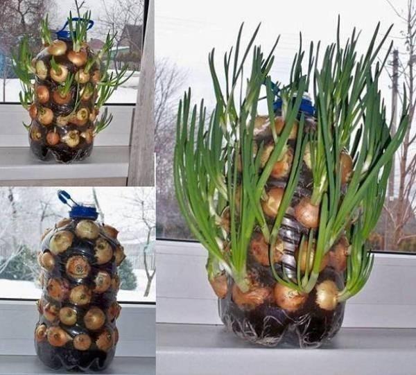 jardín vertical cebollas en bidones
