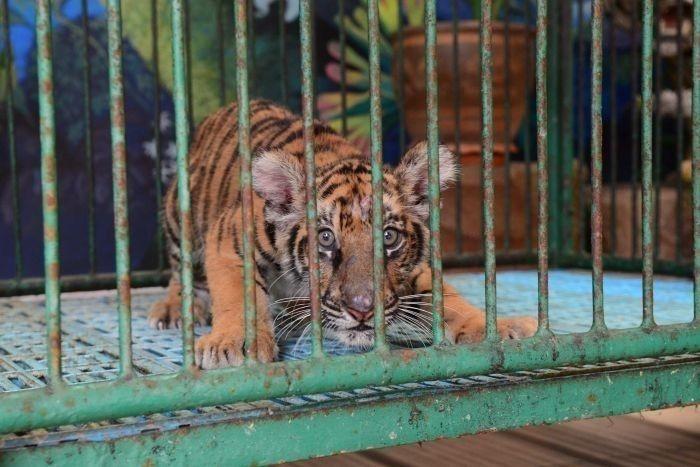 jaula tigre