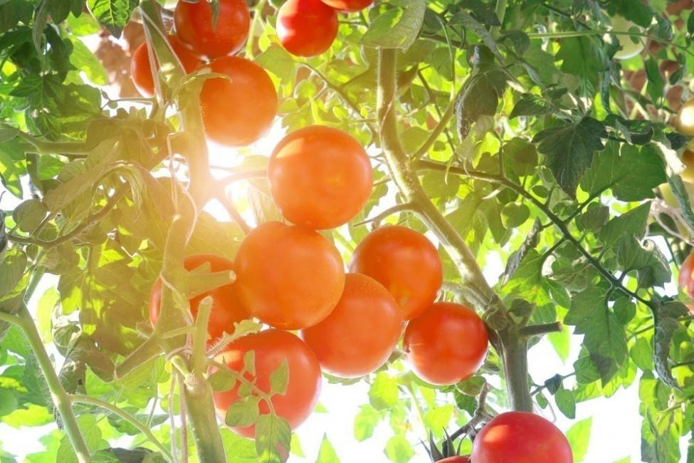 cuidados del tomate cherry