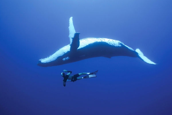 Whale-Diving-Dive-With-Whales-Tonga-2