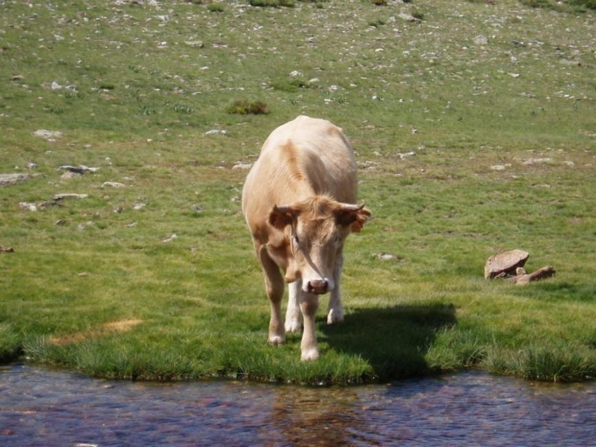vacas muertas por beber agua contaminada