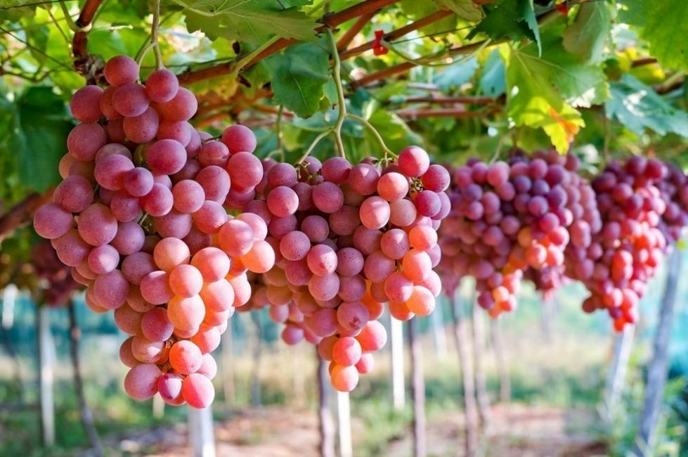 frutas para desintoxicar el cuerpo - uvas