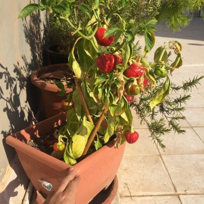 cultivar pimiento morrón en tu casa- en macetas