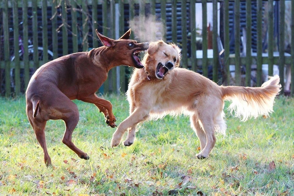 pelea perros