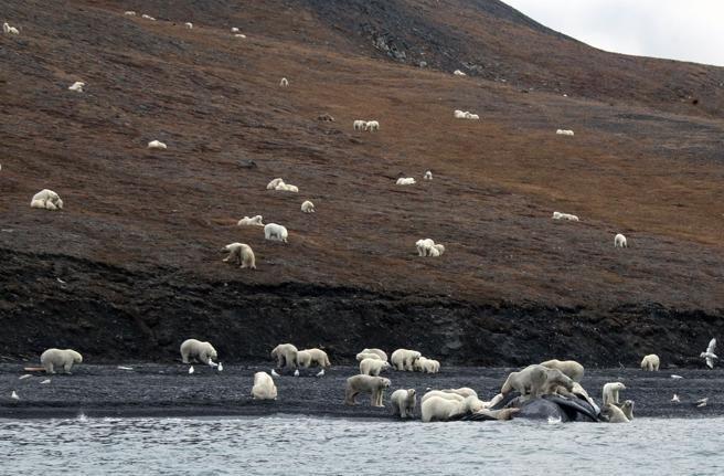 Los osos polares se concentraron cerca de una ballena muerta