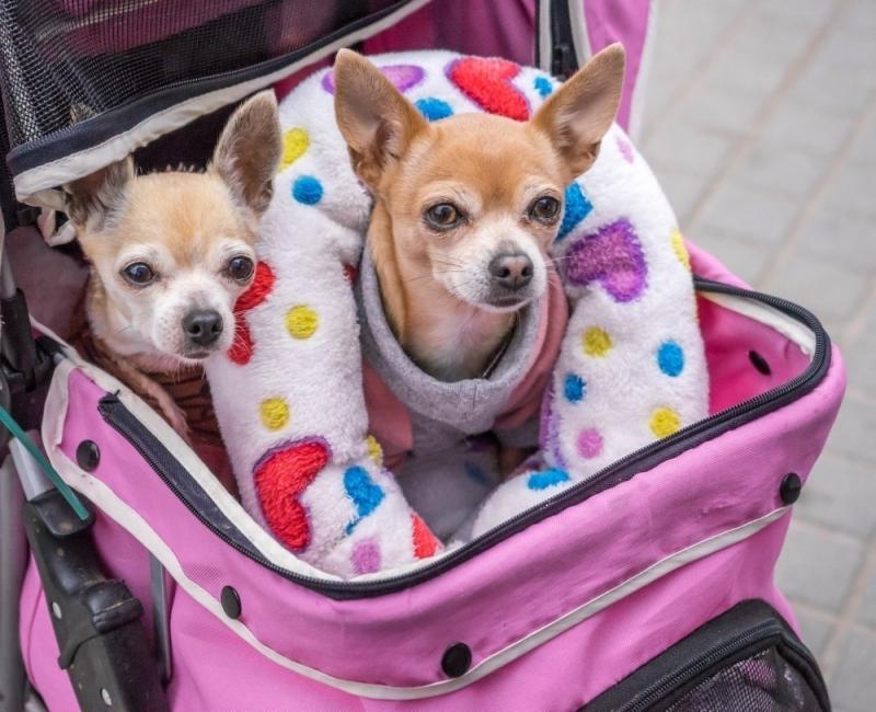 Humanizar a las mascotas trae consecuencias ellos que pueden derivar en problemas de comportamiento, como la agresividad