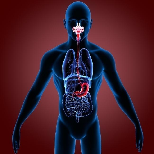 órganos significado
