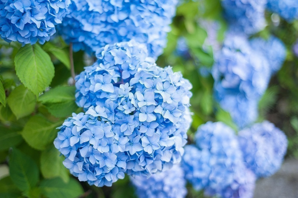 Flores y personalidad- hortensia