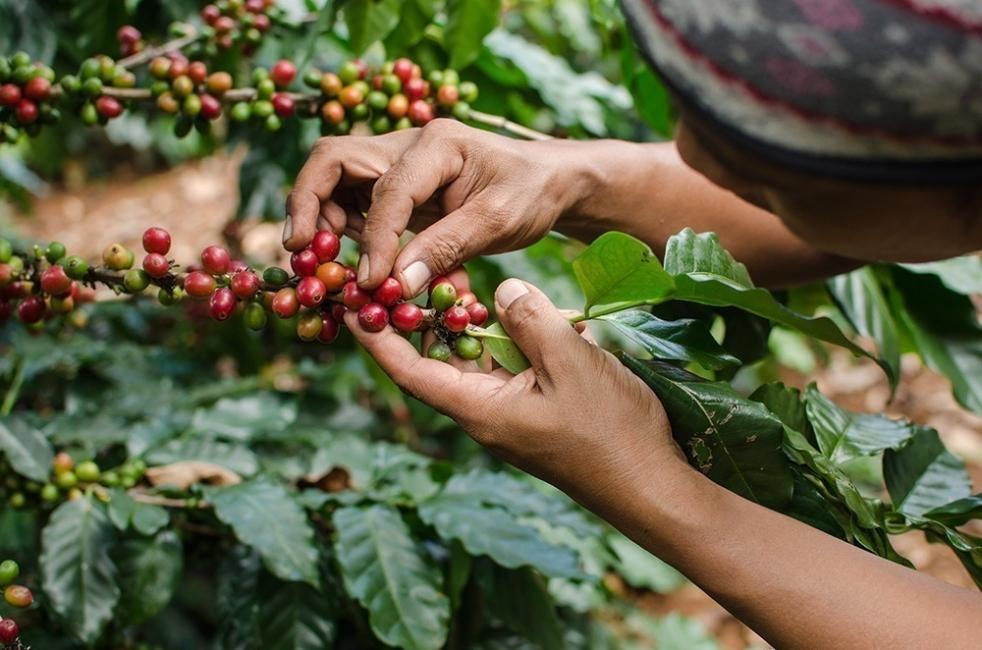 Usar café para mejorar tu jardín o huerto- cultivar café