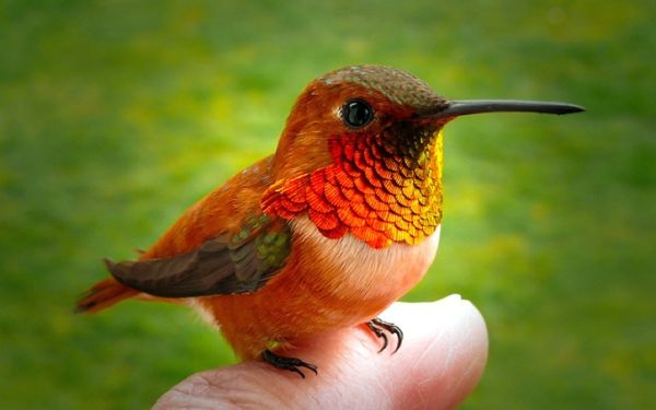hummingbird-finger-wallpaper