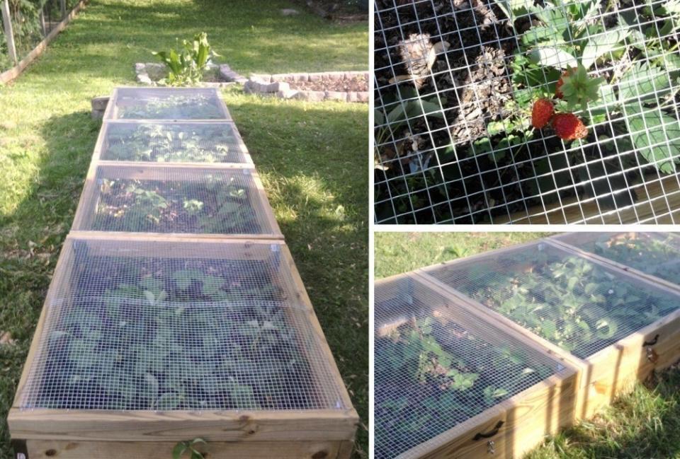 plantar frutillas- red de protección
