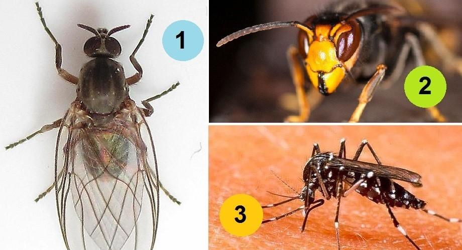 Aedes albopictus o mosquito tigre