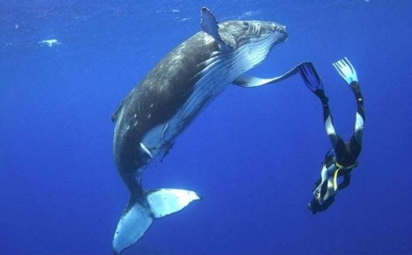 Swimming-with-Humpback-whale-618x384