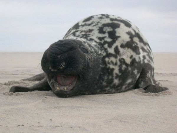 hooded-seal-photo-credit-sea-mammal-research-unit