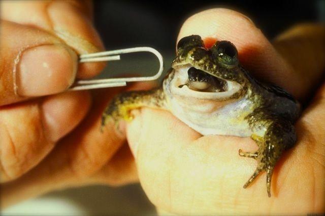 madre rana