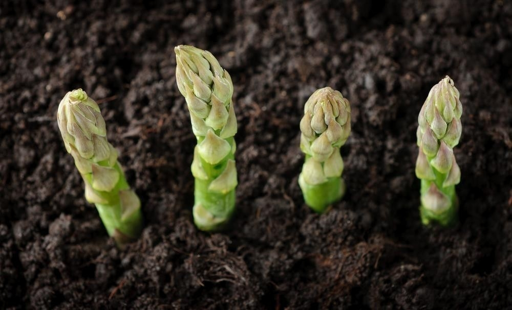 cultivar esparragos