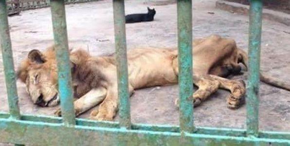 Juboraj es un león de 18 años
