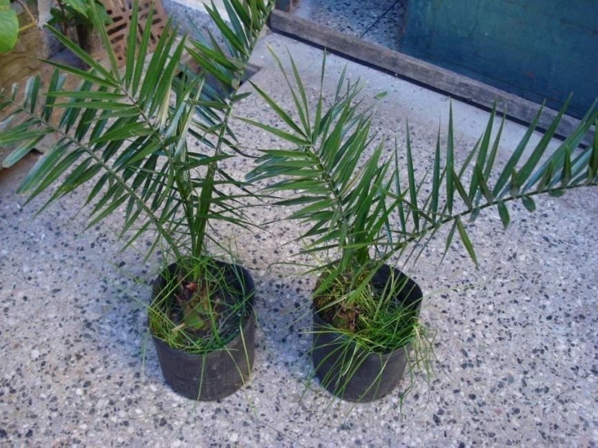germinar semillas de palmera para tener en el hogar-