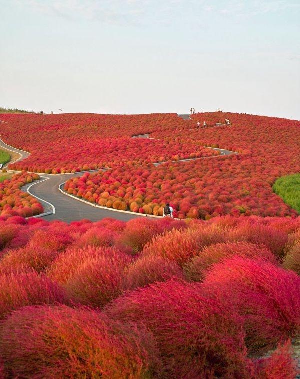 Hitachi Seaside Park en Japon