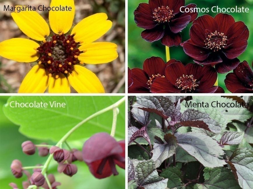 jardín de chocolate - aroma