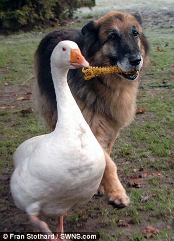 perro-y-ganso6-580x801
