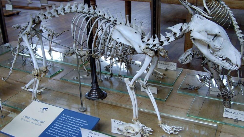 Esqueleto del Tigre de Tasmania