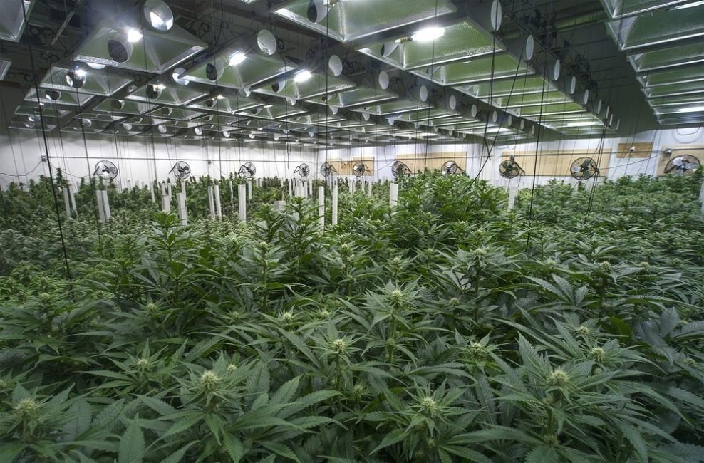 plantaciones de cannabis comerciales