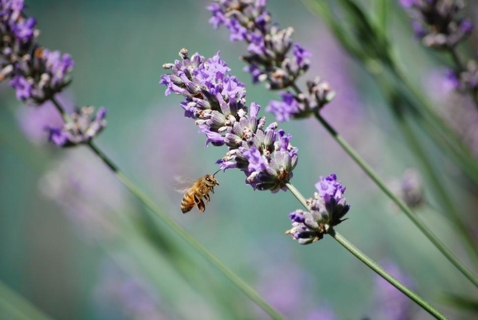 salvemos a las abejas- planta flores