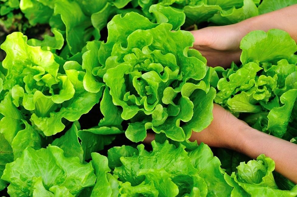 Vegetales y hierbas que puedes tener para siempre - lechuga