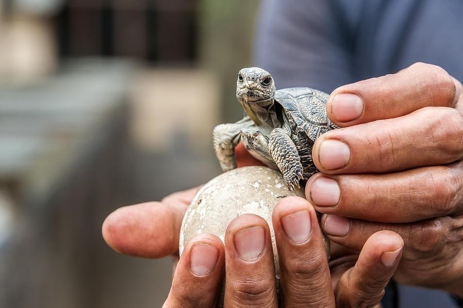 Tortugas bebés en Galápagos - tortugas bebé