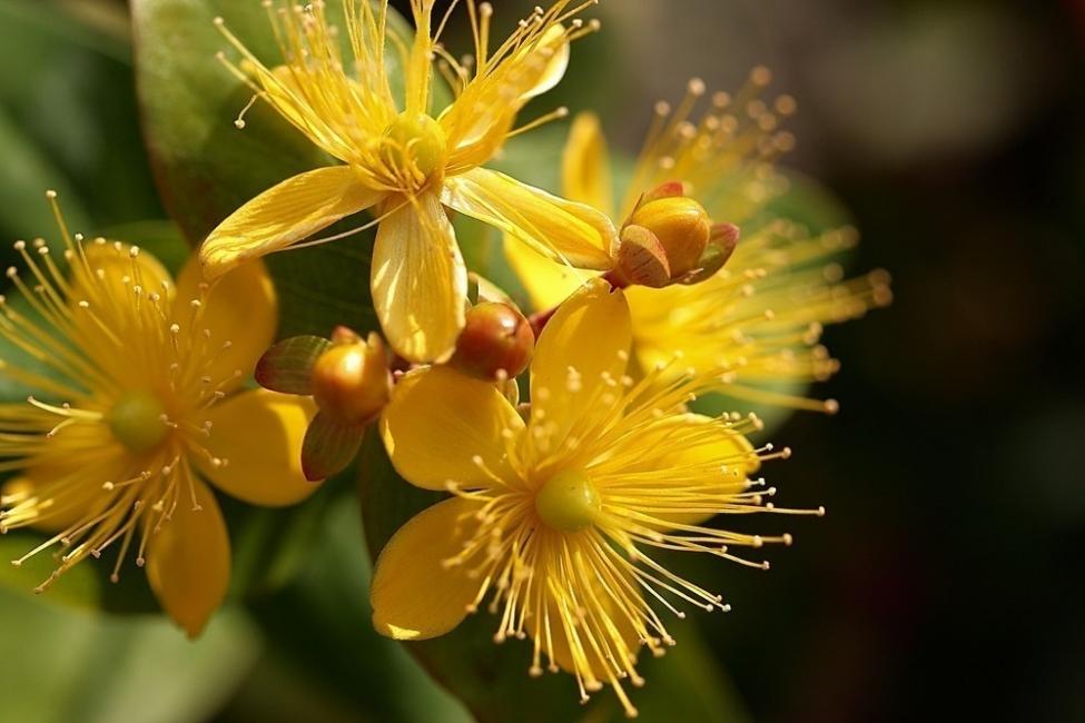 5 plantas shamánicas que sanan tu cuerpo- libro hierbas y plantas curativas de Fernández Chiti- corazoncillo
