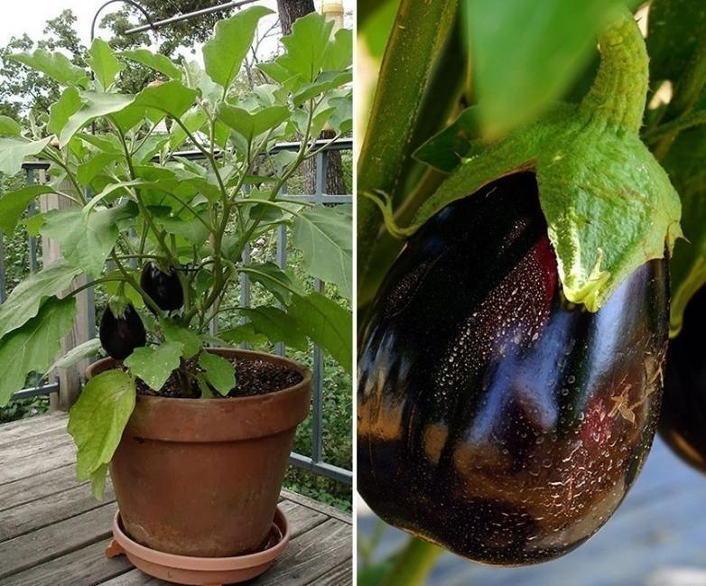 cultivar berenjenas en macetas