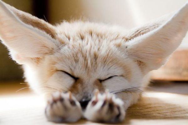 stretch-fox
