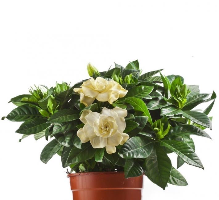 plantas de dormitorio - jazmín