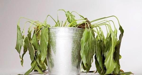 planta muerta