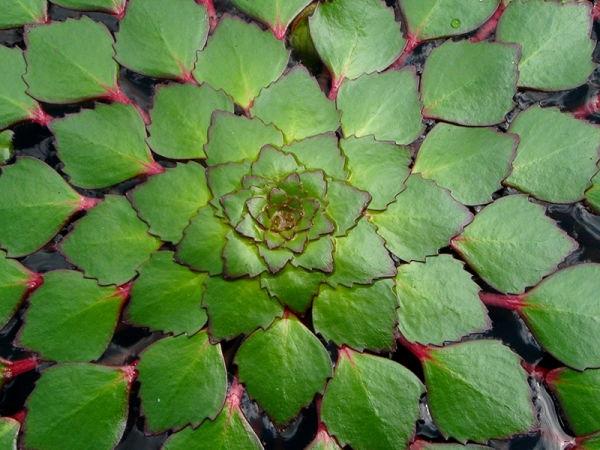 ludwigia_sedoides,_atlanta_botanical_garden,_atlanta,_fulton_county,_georgia_3,I_AMC5507