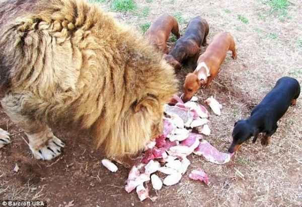 increible-amistad-un-perro-salchicha-un-leon--L-Dtgfh1